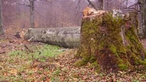 Југ Србије: Албанци секу шуме и терају људе